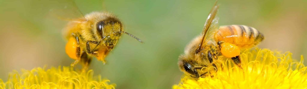 Bees are exellent polinator
