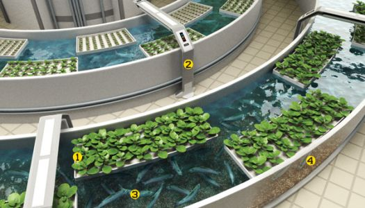 Aquaponic System Fish Farming